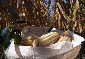 maiz-oaxacaqueno
